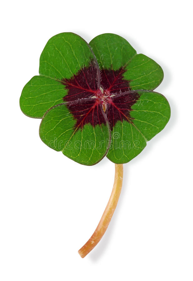 Four leaf clover. On white background royalty free stock image