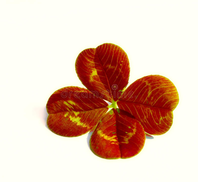 Download Four Leaf Clover stock photo. Image of close, objects - 13117294