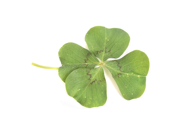 Four leaf clover. A green leaf on the white background royalty free stock photo