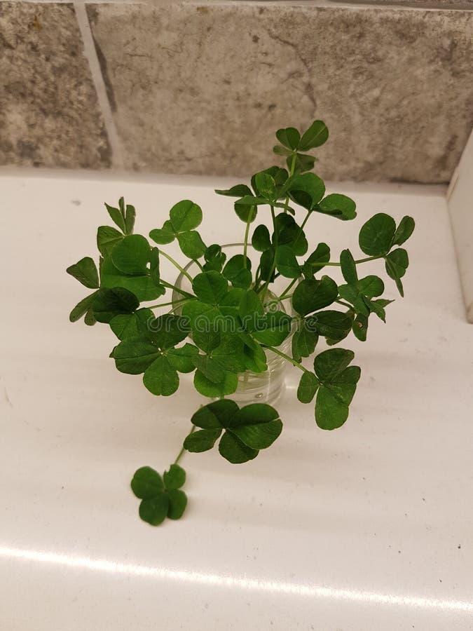 Four leaf clover bundle stock photo
