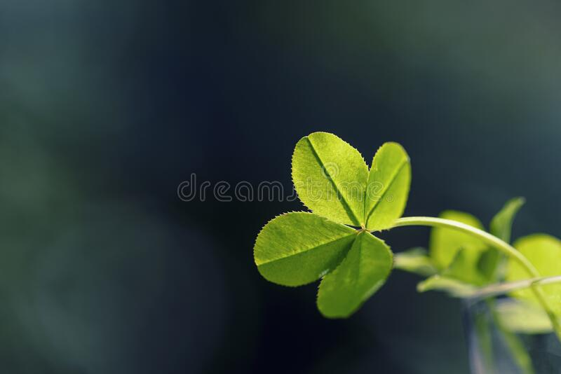 Four leaf clover. Four leaf clover background for good luck. Green clover close-up royalty free stock photo