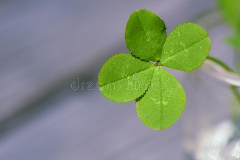 Four leaf clover. Four leaf clover background for good luck. Green clover close-up royalty free stock images