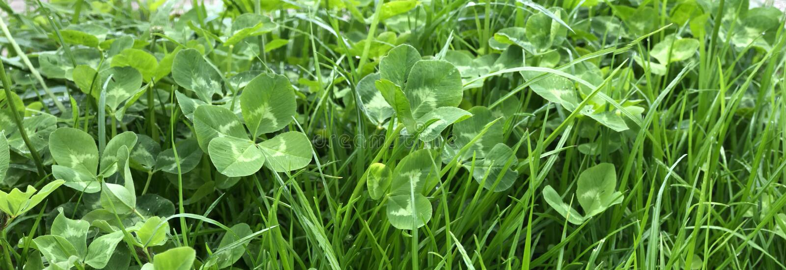Four-leaf Clover in grass stock images