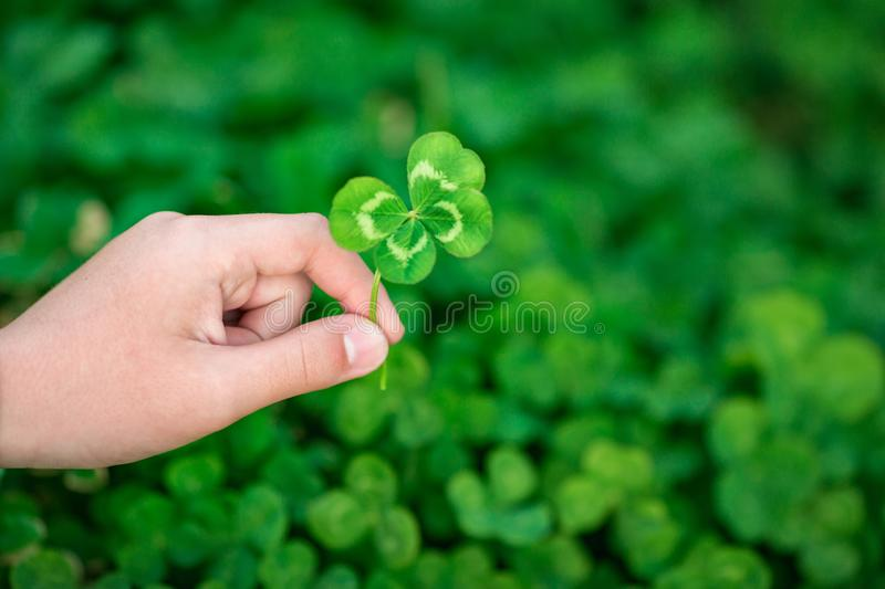 Four-leaf clover in hand on a background of green clover field stock images