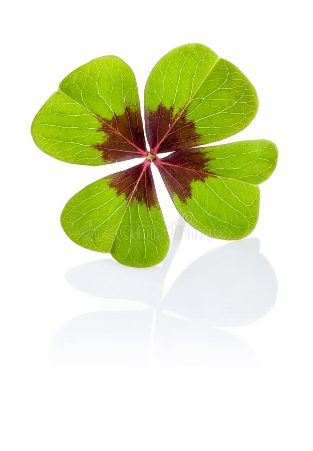 Four-leaf clover. On a white background stock images