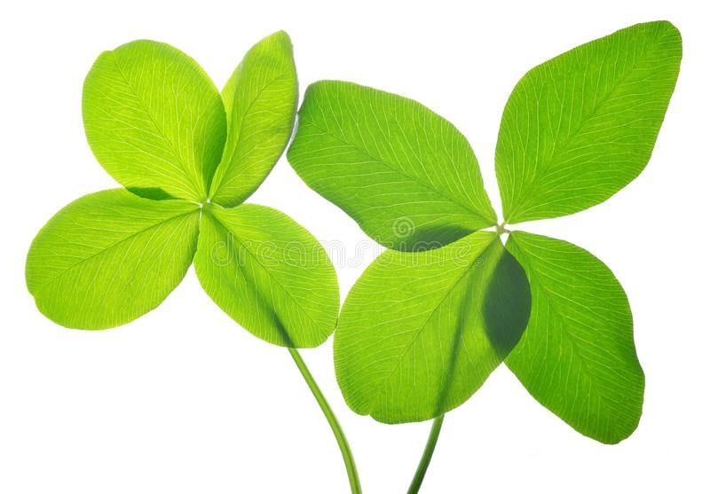 Four leaf clovers. royalty free stock photo