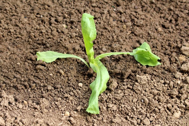 Four leaf freshly planted young lettuce growing in home garden surrounded with light brown garden soil stock photos