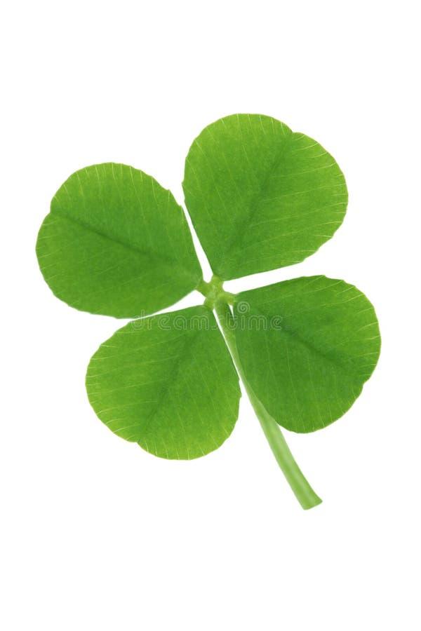 four leaf koniczynę obraz stock