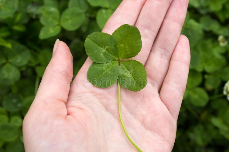 Four leaf Shamrock on hand in the clover field. Symbol of luck and Saint Patrick`s Day. stock images