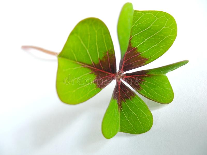 Four Leave Clover royalty free stock image