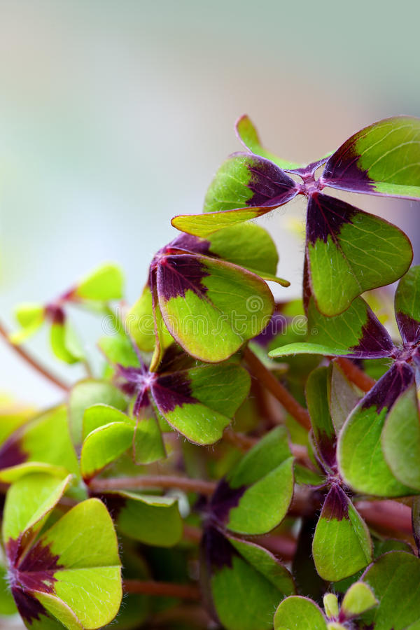 Four leaved Clover. Closeup of green four leaved clover plants royalty free stock photos