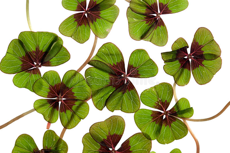 Four leaved Clover. Closeup of green four leaved clover plants on white stock photography
