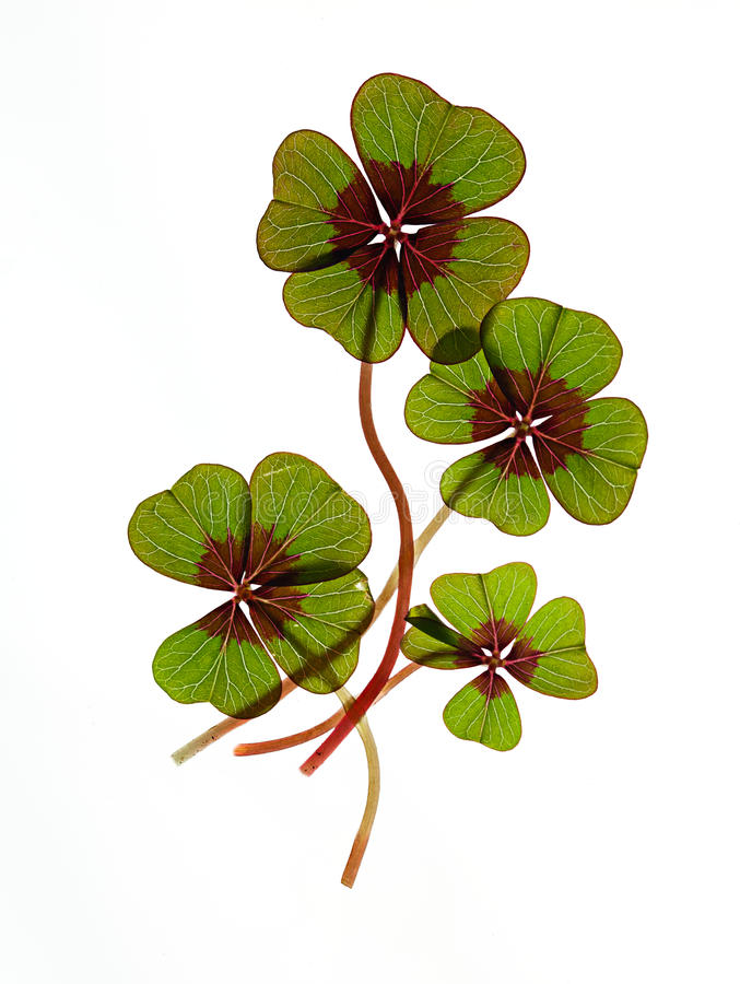 Four leaved Clover. Closeup of green four leaved clover plants on white royalty free stock photography
