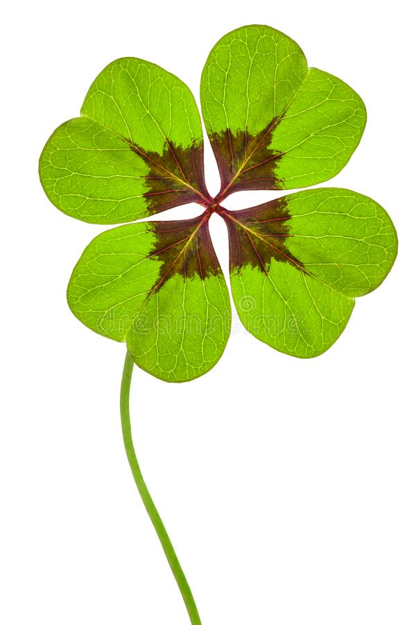 Four leaves cloverleaf. Isolated on white background stock photos