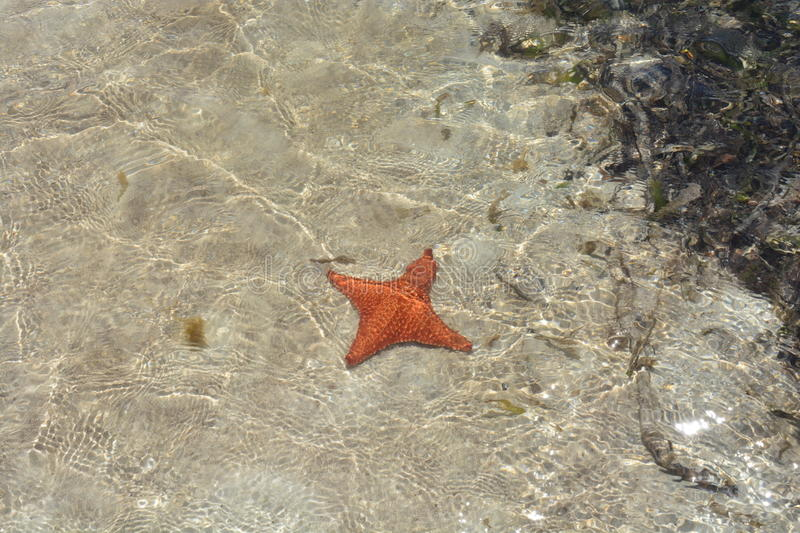 Four-legged starfish in San Blas, Panamá. A rare four-legged starfish inside the caribbean sea in San Blas Archipelago, Panam stock photography