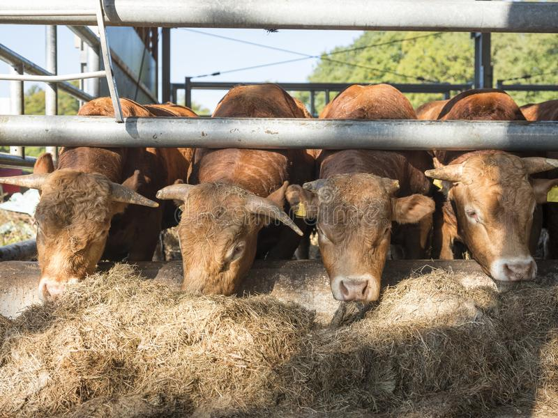 Download Four Limousin Bulls Feed Inside Barn On Organic Farm In Holland Stock Image