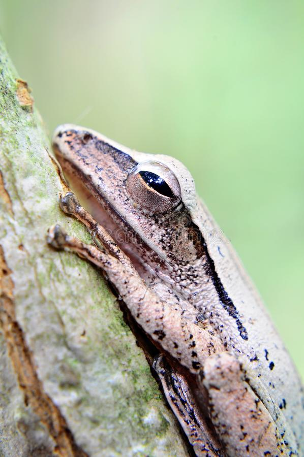 Four Lined Tree Frog stock image