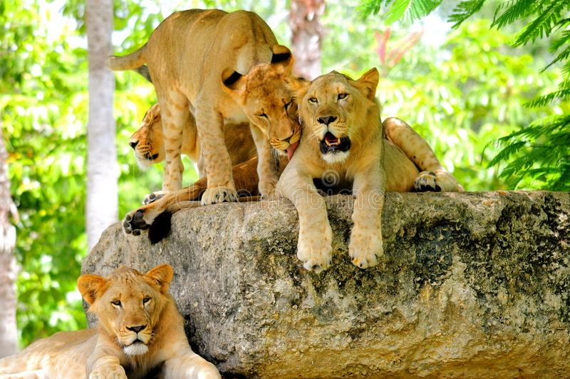 Four lion cubs royalty free stock photos