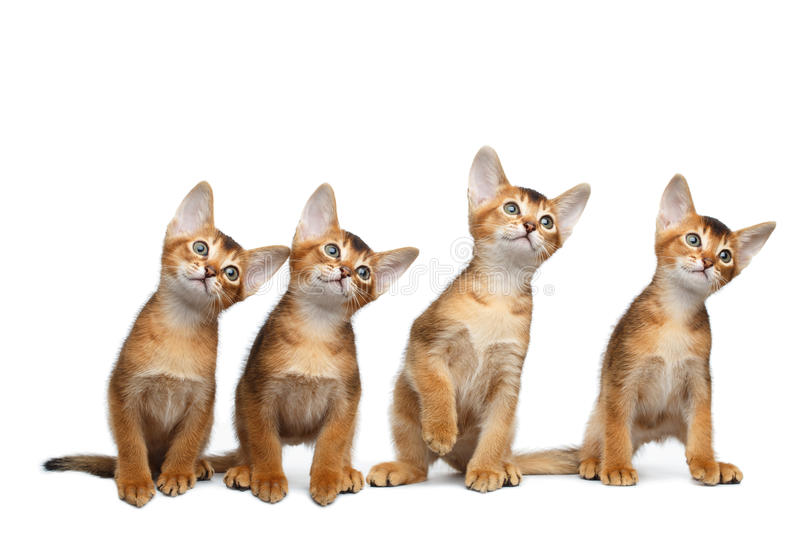 Four Little Abyssinian Kitten Sitting on Isolated White Background royalty free stock photos