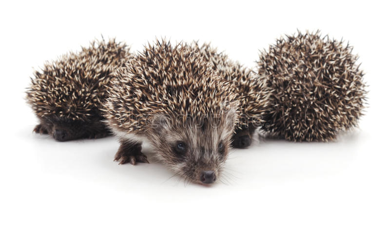 Four little hedgehogs. Four little hedgehogs on a white background stock images