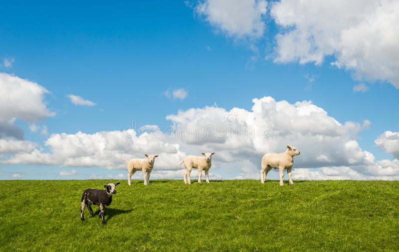 Four little lambs on top of the stock photography