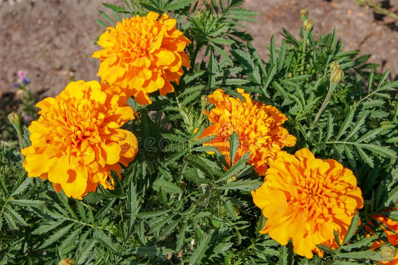 Four lush orange and yellow flowers with green spiny leaves. stock image