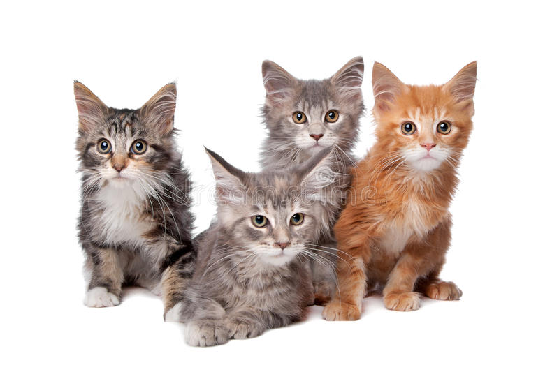Four main coon Kittens in a row stock images