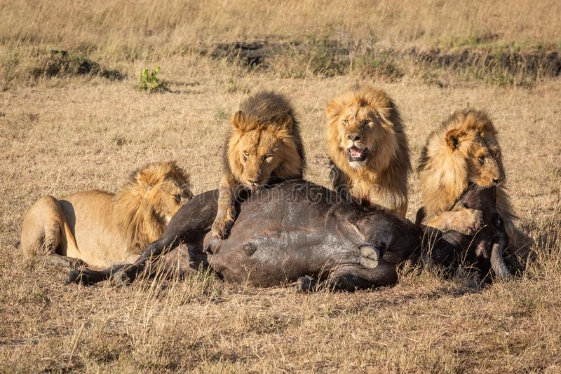 Four male lion feeding on buffalo carcase royalty free stock photos