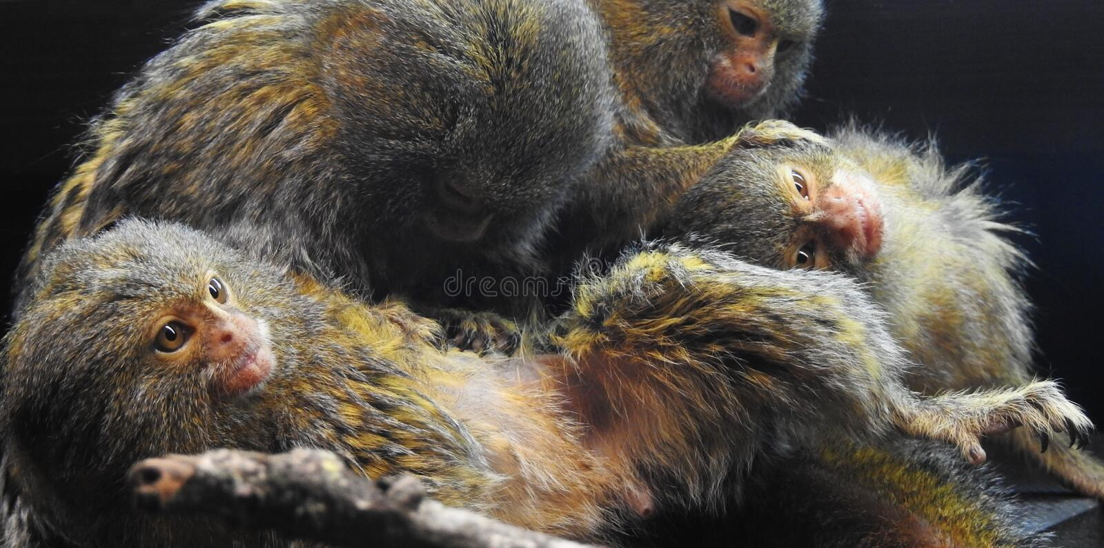 A family of four marmoset monkeys grooming one another stock image