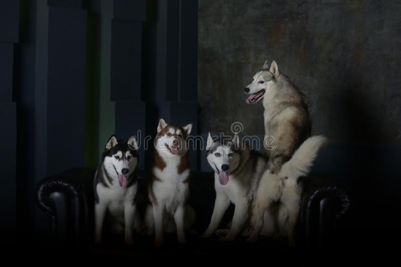 Four models - Siberian Husky breed dogs royalty free stock image
