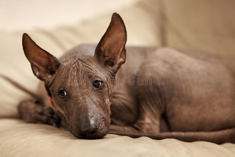 The four months old puppy of rare breed - Xoloitzcuintle, or Mexican Hairless dog, standard size. Close up portrait of dog laying royalty free stock photography