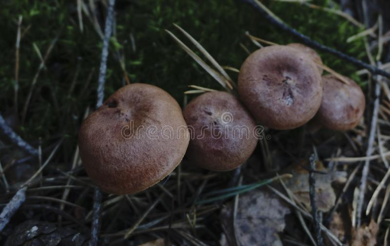 Four mushroom check of the Sables` royalty free stock images