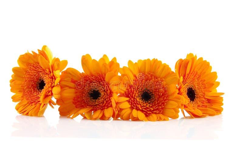 Four orange Gerber flowers royalty free stock photo