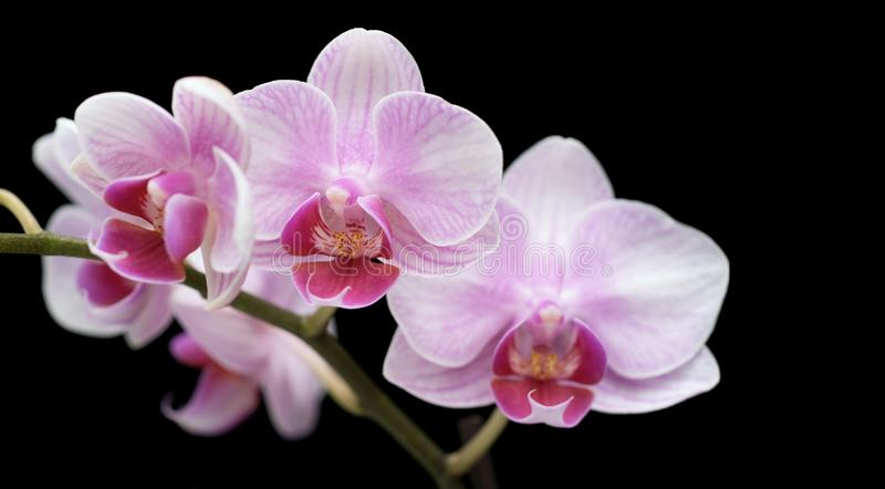 Four orchis flowers on black stock image