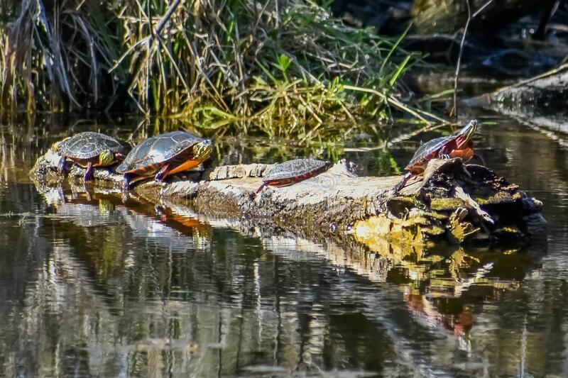 Four Painted Turtles on Logs in Lake royalty free stock photography