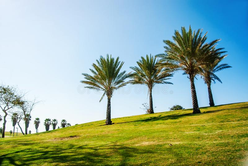 Four palm trees on a hill in the park Israel. Recreation area, recreation, urban space, nature stock photos