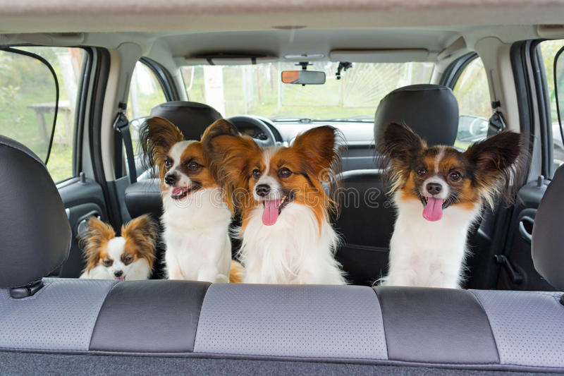 Four Papillon in car royalty free stock photography