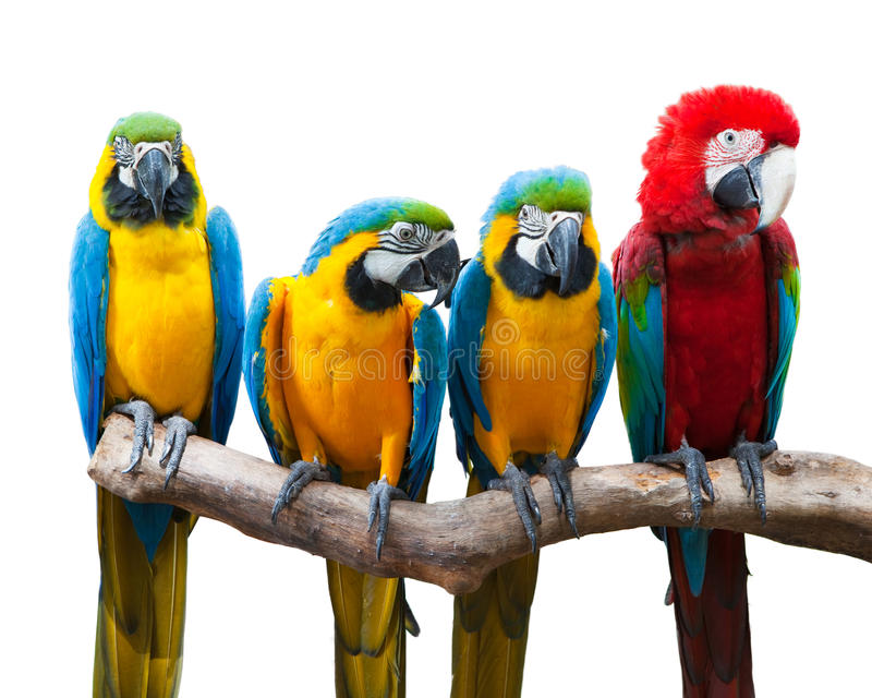 Four parrots. Stand on the trunk in a straight line