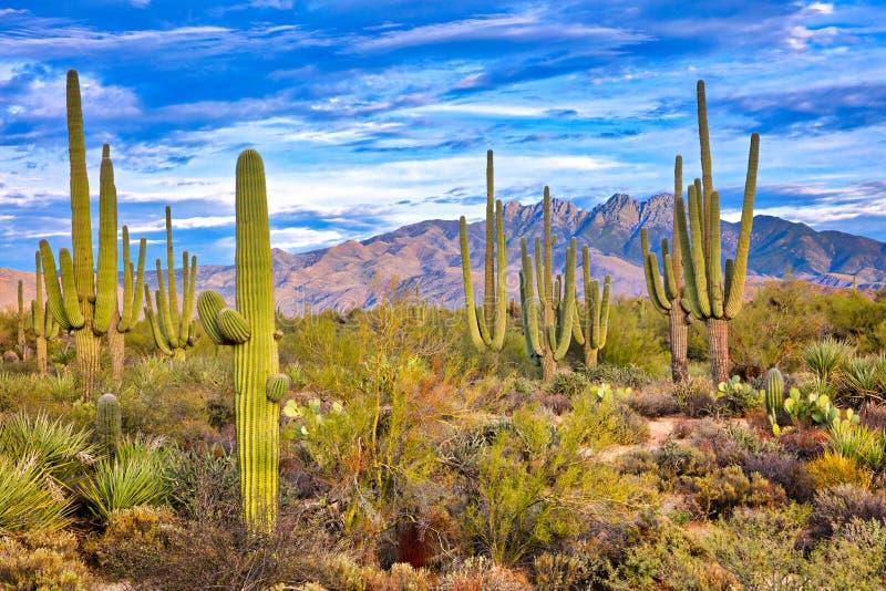 Four Peaks. Saguaro and Four Peaks near Phoenix, Arizona royalty free stock photos