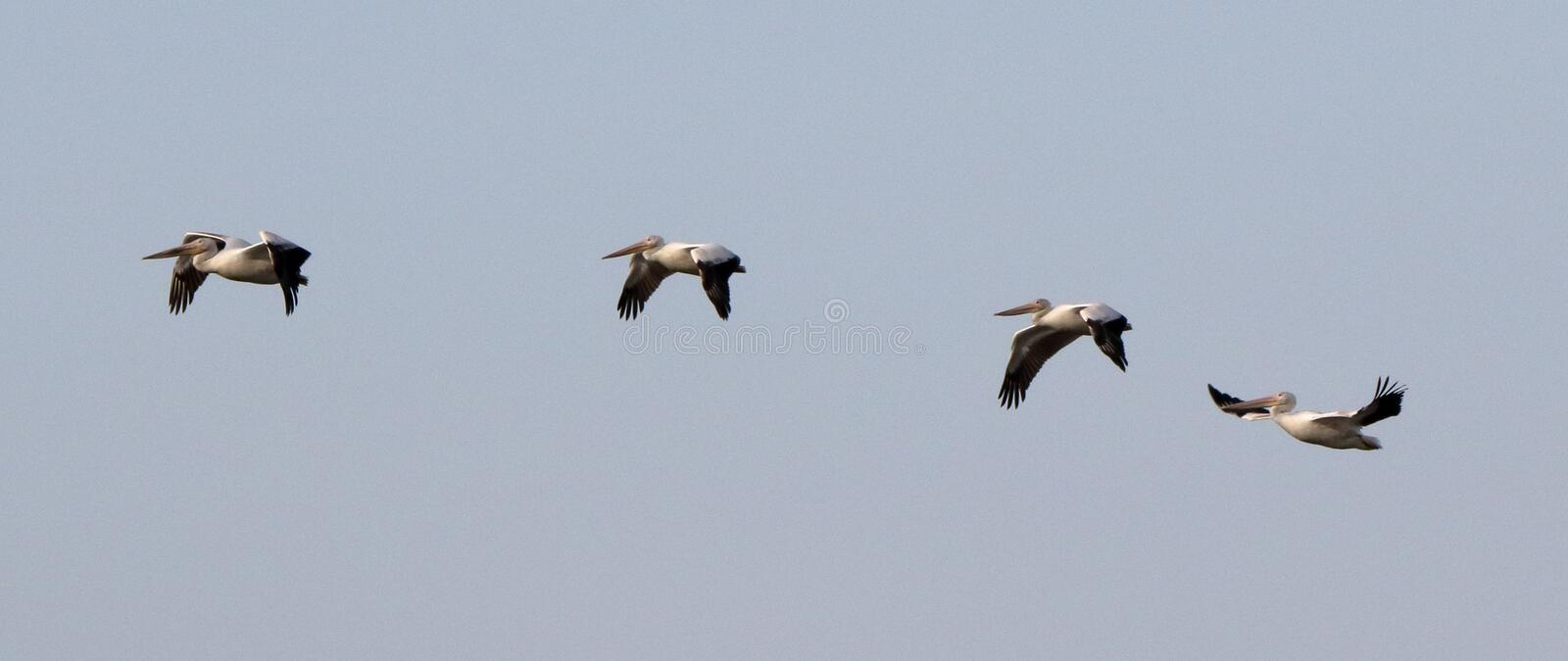 Four pelicans flying in formation stock image