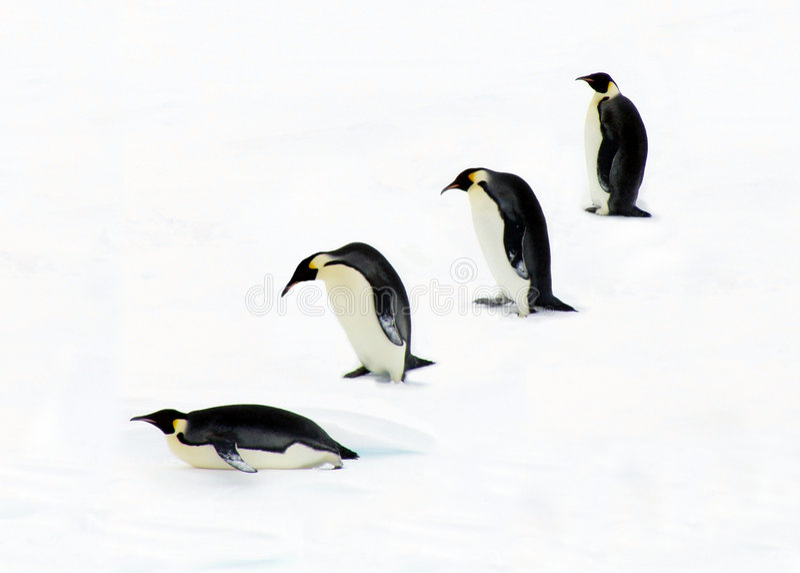 Four Penguins royalty free stock photos