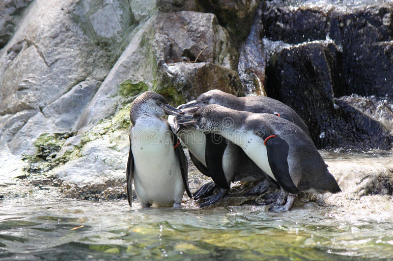 Four penguins having a meeting stock images