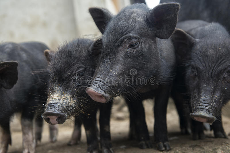 Four pigs royalty free stock photo