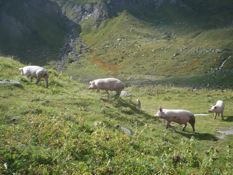 Four pigs walking on a meadow on the mountains stock image