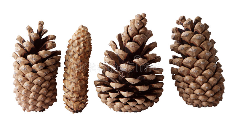 Four Pine Cones royalty free stock images