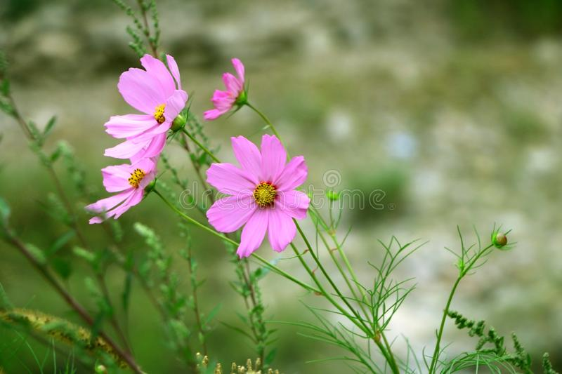 Four Pink Color Flowers Closeup | Desktop Backgrounds. | green and pink color photo | best flower images | top pink color flowers | beautifull images stock photography