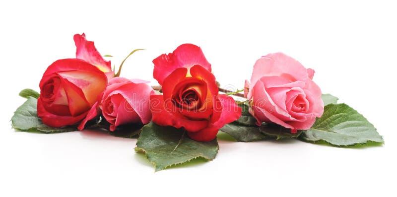 Four pink roses stock photos