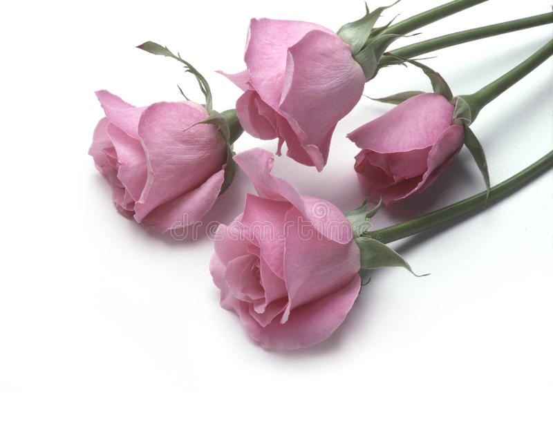 Four pink roses lying on a white surface stock image