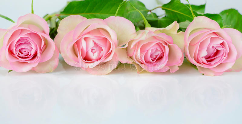 Four pink roses royalty free stock image
