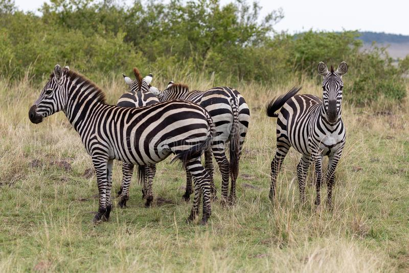 Four Plains Zebra in the Masai Mara, Kenya, Africa stock images